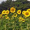 sunflower005b