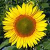 sunflower007c