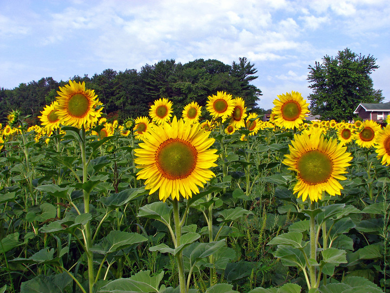 sunflower013b