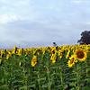 sunflower014b