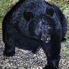 The Bear In My Back Yard