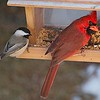 Brothers at heart <br /> Funny how the chickadee and the cardinal have the same head tilt.