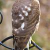 Profile of the hawk.