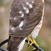 A Cooper's Hawk visiting my bird feeder