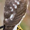 Hawk at my bird feeder - profile.