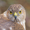 Crop of Cooper's Hawk (Accipiter Cooperii)