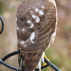 Profile of the hawk. <br /> Handsome bird with hunger pangs for my little friends at my feeder.