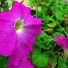 Neighbor's Flowers