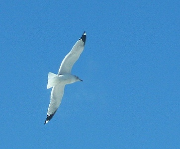 Seagull <br /> Why are they around this neck of the woods?