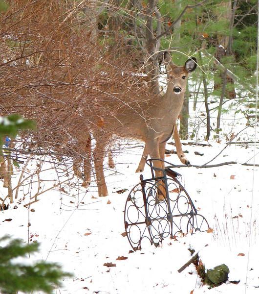 Deer in my mother's Back Yard