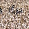 Geese in Corn Field