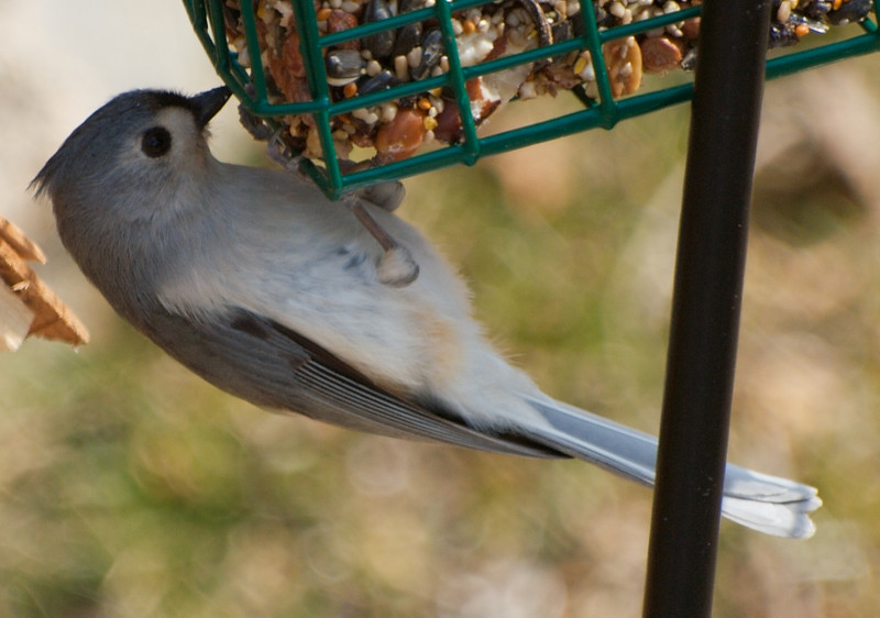 Titmouse Doing Pullups