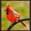 One Of Many Cardinals Around Here