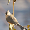 Tufted Titmouse <br /> This one, too, was shot through my bedroom window.