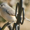 Tufted Titmouse <br /> All of the Titmouse pics were shot through the bedroom window.