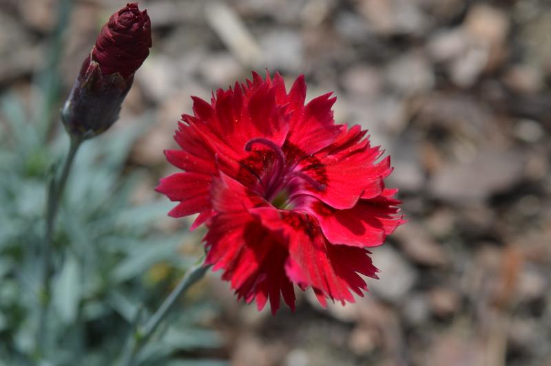 Fire Star Dianthus