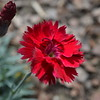 Fire Star Dianthus
