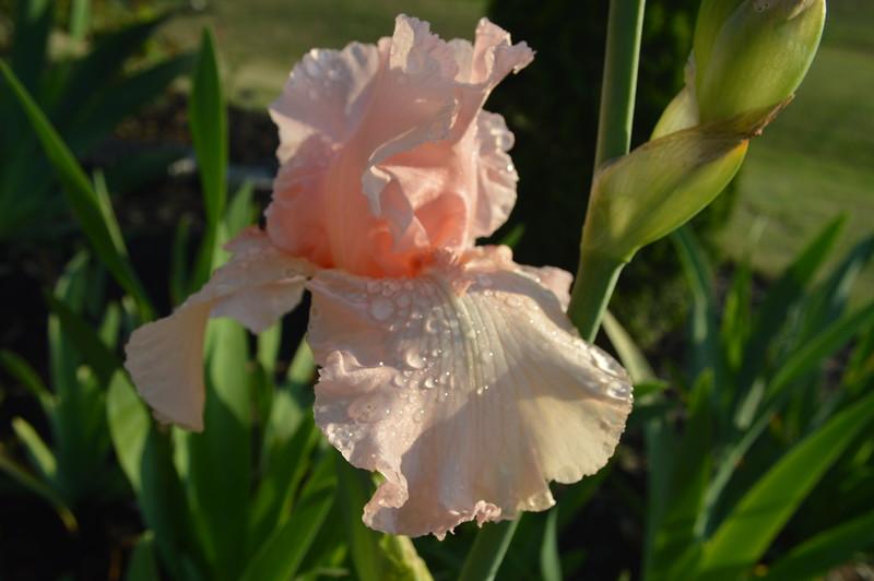 Pink Iris 01