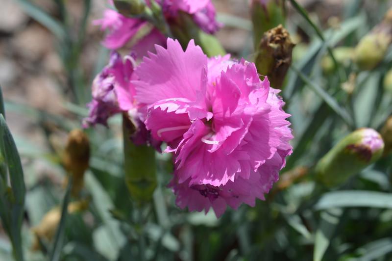 Tickled Pink Dianthus