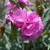 Tickled Pink Dianthus
