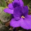 05 African Violet Banner