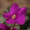 01 African Violet