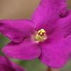 03 African Violet