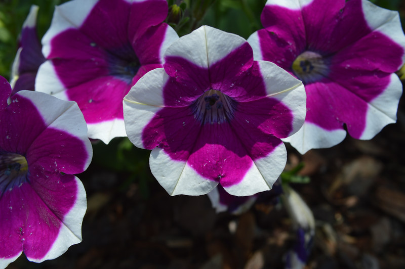 White and Pink Petunias from May 22nd, 2016