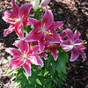 Asiatic Lily 01