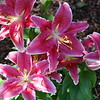 Asiatic Lily 02