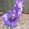 Lavender Gladiola from June 4th, 2016. Photo 4 of 4.