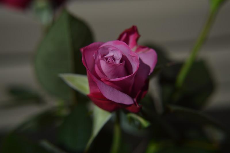 2015-10-18 Oklahoma Beauty Rose Outdoors