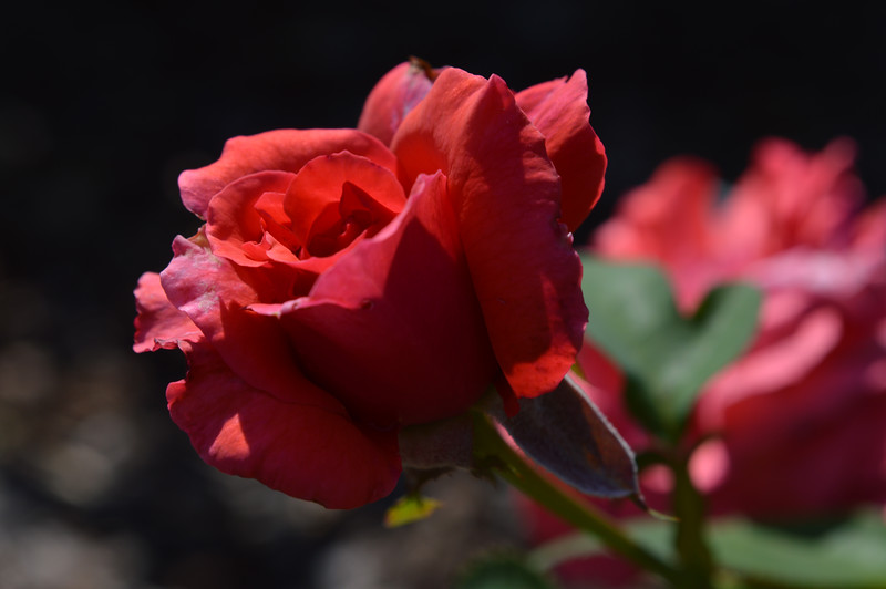Fragrant Cloud rose from June 12th, 2016. Photo 2 of 2