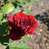 Black Baccara rose from May 16th, 2016. Photo 1 of 2