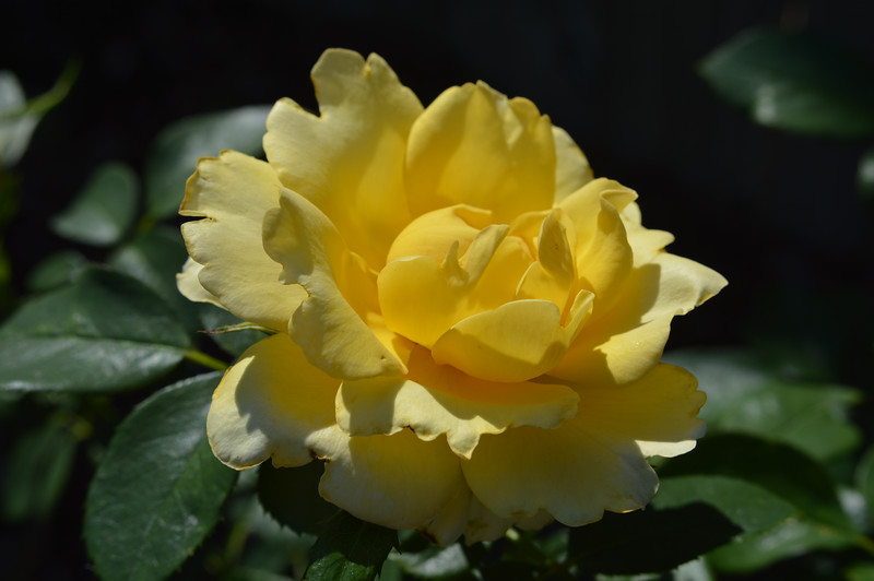 Goldstruck rose from June 12th, 2016. Photo 1 of 2