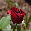 Black Baccara rose from May 16th, 2016. Photo 2 of 2