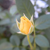 Doris Day rose, second bud to open for the season from May 8th, 2016.