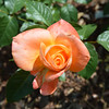 """""""New Year"""" rose from May 22nd, 2016. Photo 1 of 2."""