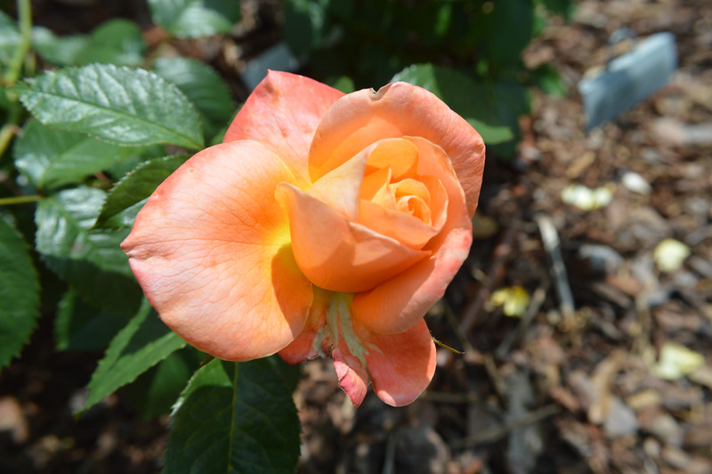 """""""New Year"""" rose from May 22nd, 2016. Photo 2 of 2."""