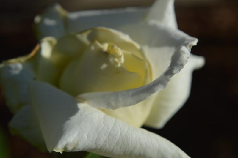 Pope John Paul First Bloom 03