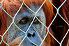 Pensive primate, plotting his escape ?