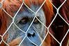 Pensive primate, plotting his escape ?