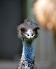 Emu with an attitude