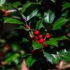 Flagler Garden & Woodland Walk - Holly