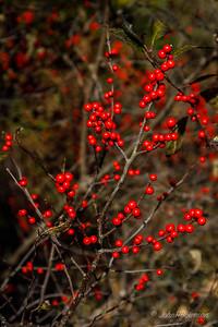Flagler Garden & Woodland Walk - Red Berries