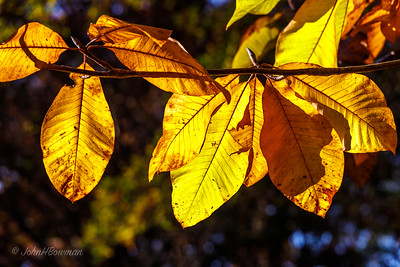 Flagler Garden & Woodland Walk - Backlit Yellow Leaves