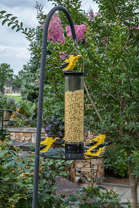 Five Goldfinches at Feeder