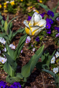 Went to Lewis Ginter Botanical Garden for 1st visit of 2016,; many daffodils past prime but still many nice ones, & some early tulips; magnolias not very good, maybe due to storm damage; a bit breezy for best flower photography, but nice; comfortable temperature with high ~70 - much better than Wednesday's 84 & Saturday-Sunday forecast highs in 40s (it's March!); yellow & white tulips & other spring flowers at NW corner of bed surrounding Sunken Garden (aka Fountain Garden)