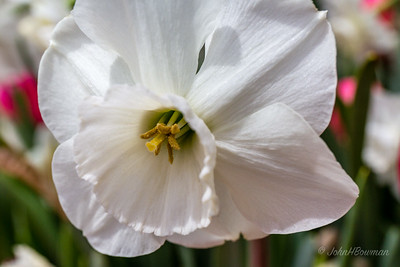 White Daffodil, Lewis Ginter Botanical Garden