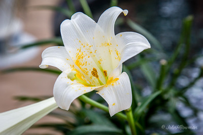Lewis Ginter Botanical Garden was 2nd stop of full day during Steve Brown's visit; some beautiful white lilies in the Conservatory's atrium were perfect for Easter season